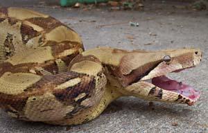 Rastrillo sexual para la boa constrictor