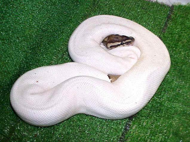 Python regius. Pitón Real o Pitón Bola